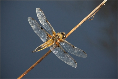 "04 ""4-spotted chaser"" 16"