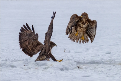 Buzzard squabble -19 C1R1N