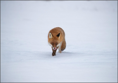 Red fox in Habitat - 17