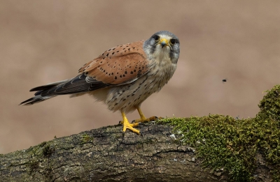 Male Kestrel and Fly -18 C1 R4 Print