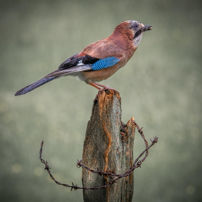 1 Jay after the Storm
