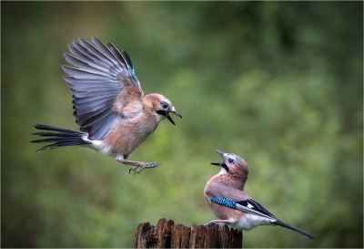 1 Jay squabble no 1