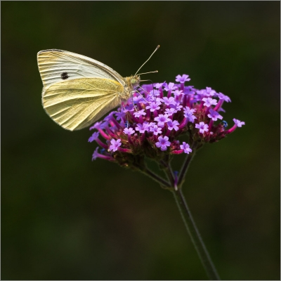1 Large White Butterfly on Verbena