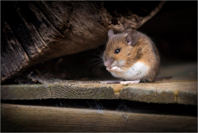 2 Field Mouse Under logpile