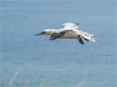 Gannet coming into Land