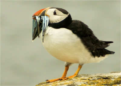 Puffin with lunch -18