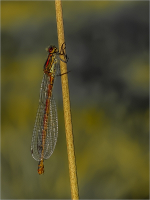 Large Red Damsefly - 16