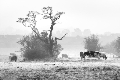 1 Cows In the Mist