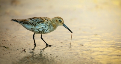 1 The early bird (Dunlin-calidris artica)
