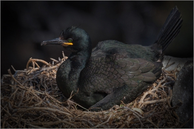 2 Shag on Cliff Top Nest
