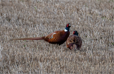 Two Pheasants