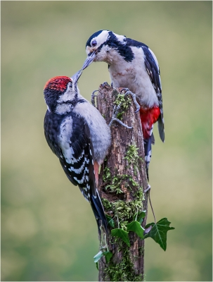 2 Greater spotted woodpeckers (dendrocopus major)