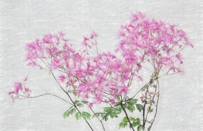 1 Meadow Rue Pastel