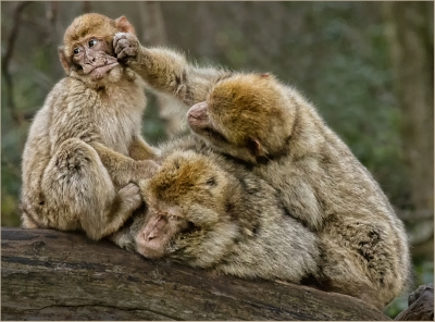 1 macaque troop - 18