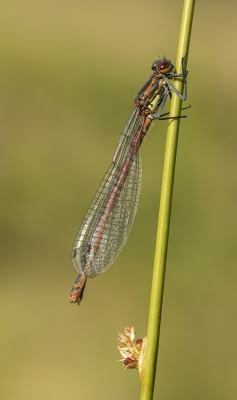 2 Large Red Damselfly - 20