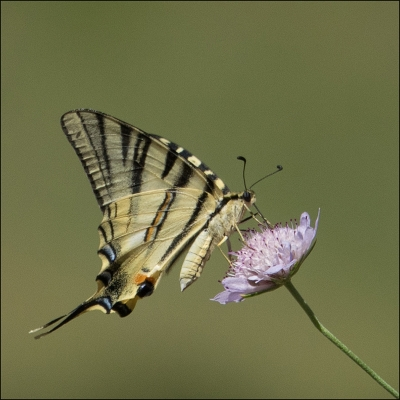 2 Swallowtail (Papilio machaon)  - 19
