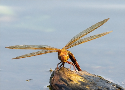Large Brown Hawker