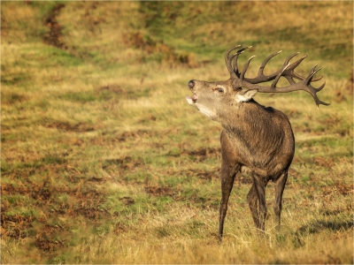 Red Stag Bellowing