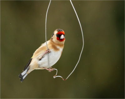 2 Goldfinch In The Drizzle -18