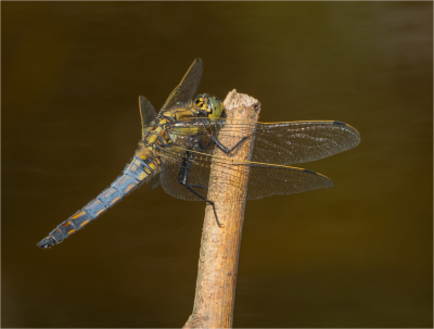 Broad Bodied Chaser Female - 17