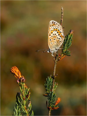 Silver Studded Blue Female on Heather