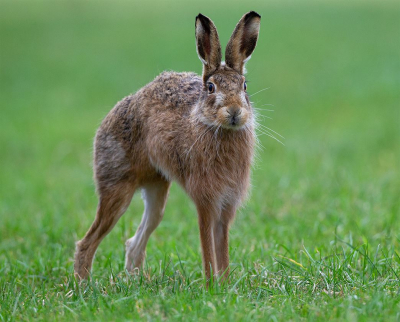 2 Brown Hare About To Run -17