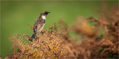 Sparrow on Bracken
