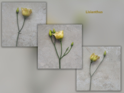 Lisianthus 1Score 60