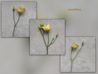 Lisianthus 1