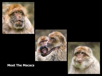 Meet The Macacs 1