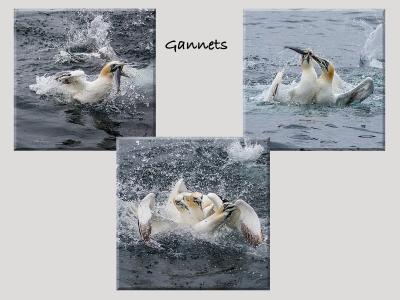 gannets 1Score 57