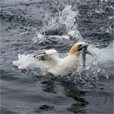 gannets 2