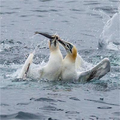 gannets 3