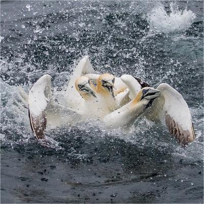 gannets 4