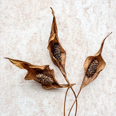 Arum Lily going to seed -20
