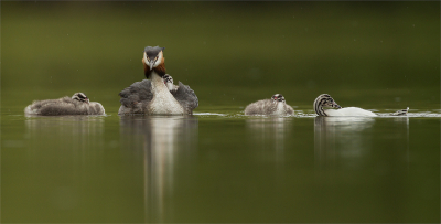 1 Great Crested Grebe With Four Chicks In The Drizzle