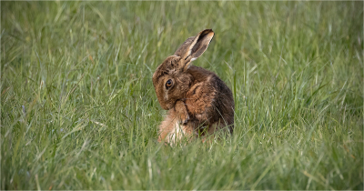 2 Hare grooming no 1