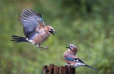 3 Jay squabble