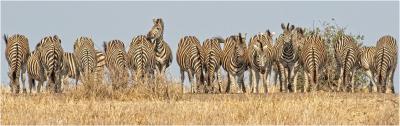 3 Plains Zebra Line Up
