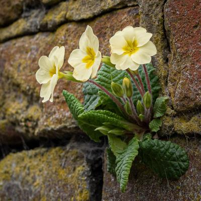 1 Wild Primrose -20