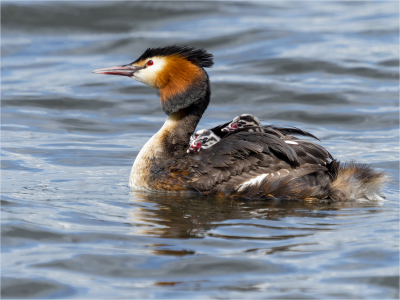 Great Crested Grebe with Chicks - 16