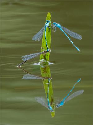 common Blue Danselfly -16