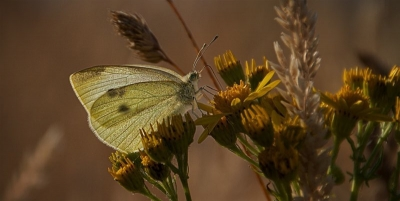 Common white butterfly