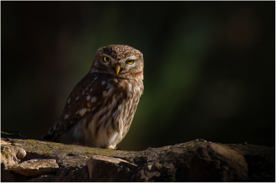 19 Little Owl