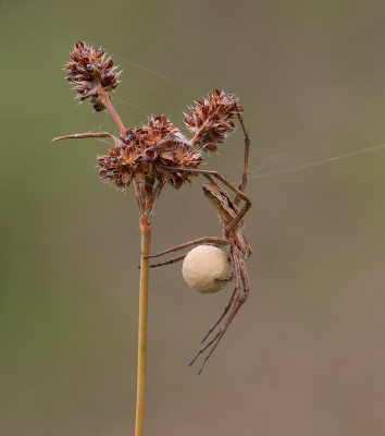 19 Spider With Egg Sac