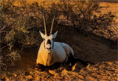 7 Oryx leucoryx-2