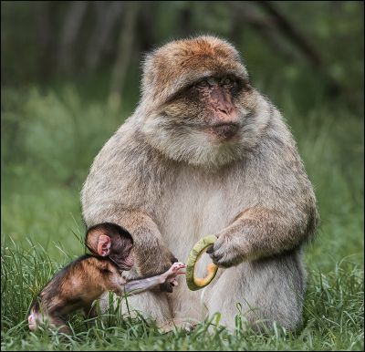 7 The Opportunist macaca