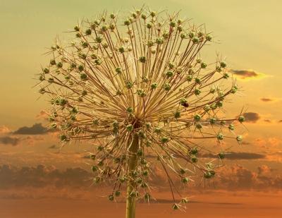 Allium seed head 39