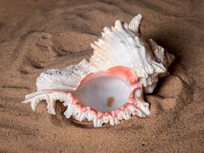 Conch Shell 34