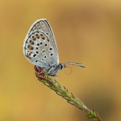Dewy Silver-Studded Blue Butterfly